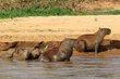 Capybara family.jpg