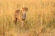 Cheetah 1- 2013.jpg