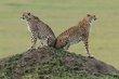 Cheetah brothers 2012.jpg