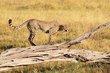 Cheetah sub adult 1-2013.jpg