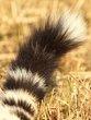 Cheetahs tail -2013.jpg