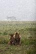 Despondent Lions- Lake Nakuru 2011.jpg