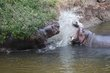 Hippos in teritory dispute 2013.jpg