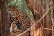 Jaguar 2-female.jpg