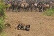 Leopard with Wildebeest kill 2012.jpg