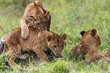 Lion Cubs-Lake Nakuru 2011.jpg