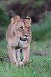 Lioness 2012.jpg