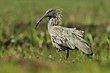 Plumbeous Ibis.jpg