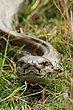 Rock Python.jpg
