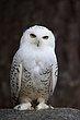 Snowy Owl 1.jpg