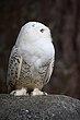 Snowy Owl 2.jpg