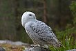 Snowy Owl 3.jpg