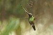 Sword-billed Hummingbird 1.jpg