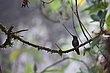 Sword-billed Hummingbird.jpg