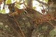 Tiger cub 1-Bhandhavgarh 2012.jpg
