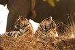 Tiger cubs 1-Bandhavgarh 2012.jpg