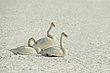 Whooper Swans copy.jpg