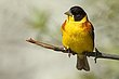 Black Headed Bunting 1.jpg