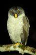 Black and White Owl.jpg