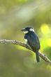 Black-breasted Puffbird.jpg