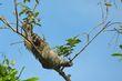 Brown-throated Three-toed Sloth.jpg