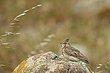 Crested Lark 1.jpg