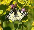 Eastern Festoon Butterfly.jpg