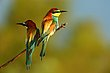 European Bee eaters.jpg