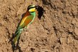 European Bee-eater at nest 1.jpg