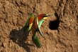 European Bee-eater at nest.jpg