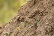 European Bee-eater digging nest.jpg