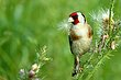Goldfinch 2.jpg