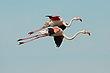 Greater Flamingoes 1.jpg
