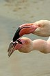 Greater Flamingoes.jpg