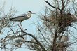 Grey Heron at nest.jpg