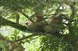 Hoffmanns Two-toed Sloth.jpg