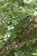 Iguana - female 1.jpg