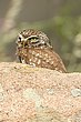 Little Owl 5.jpg