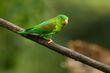 Orange-chinned Parakeet.jpg
