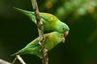 Orange-chinned Parakeets.jpg