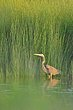 Purple Heron.jpg