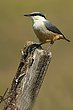 Rock Nuthatch.jpg