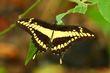 Thoas Swallowtail.jpg