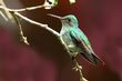 Violet-bellied Hummingbird - female 1.jpg