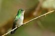 Violet-bellied Hummingbird - female.jpg