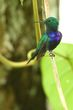 Violet-bellied Hummingbird - male 1.jpg