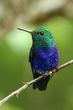 Violet-bellied Hummingbird - male.jpg