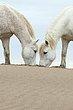 White Horses 3.jpg