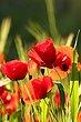 _Poppies.jpg