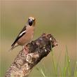 Hawfinch male.jpg